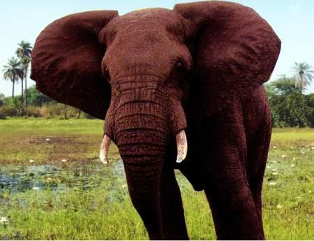 africanbullelephantpicture