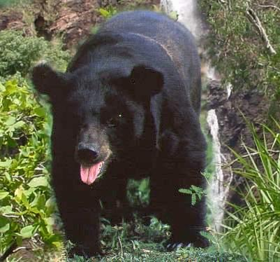 asiaticbearforaging