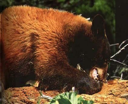 blackbearfeedingoninsects
