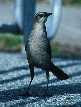 great-tailed-gracklebird