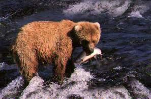 grizzlybearfishing