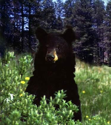 inquisitiveblackbear